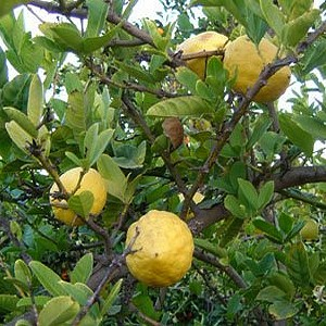fragrant citrus
