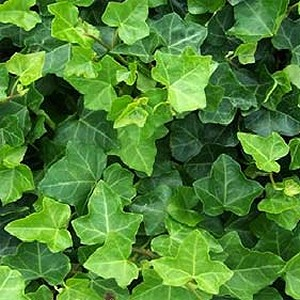 evergreen vine